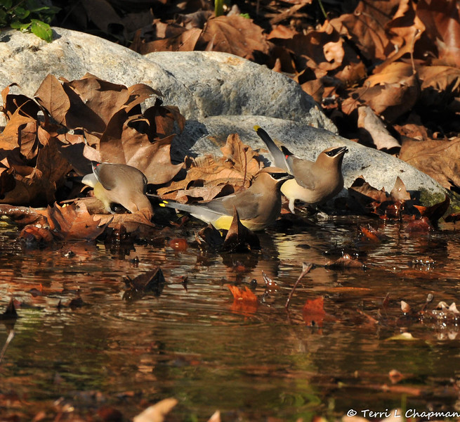 Cedar Waxwings drinking from a stream