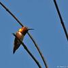 A male Allen's Hummingbird