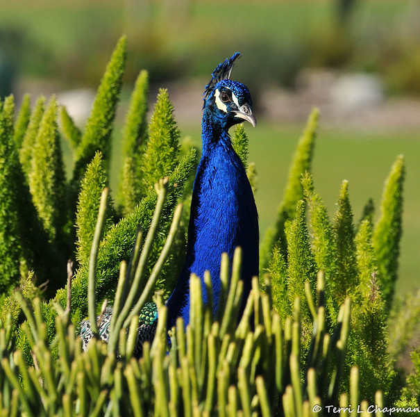A male Indian Peacock amongst Asparagus Ferns and Pencil Cactus