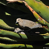 A pair of Mourning Doves building a nest in an Aloe plant