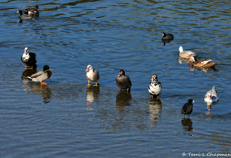 Seven Muscovy ducks (along with three American Coots, a Mallard Duck and an American Wigeon)  in the LA River. The Muscovy duck (Cairina moschata) is a large duck native to Mexico, Central, and South America. Small wild and feral breeding populations have established themselves in the United States.