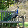 A male Indian Peacock resting on a bench at the LA Arboretum