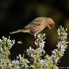 A Male House Finch perched on a Rosemary plant