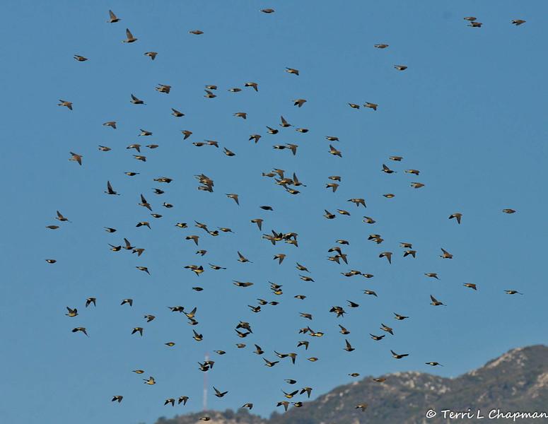 A flock of flying Cedar Waxwings