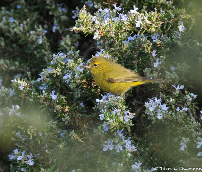 An Orange-crowned Warbler perched in a Rosemary bush