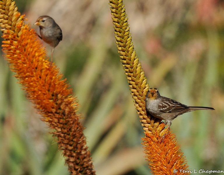 White-crowned Sparrows, with nectar on their faces, from the blooming Aloe plant