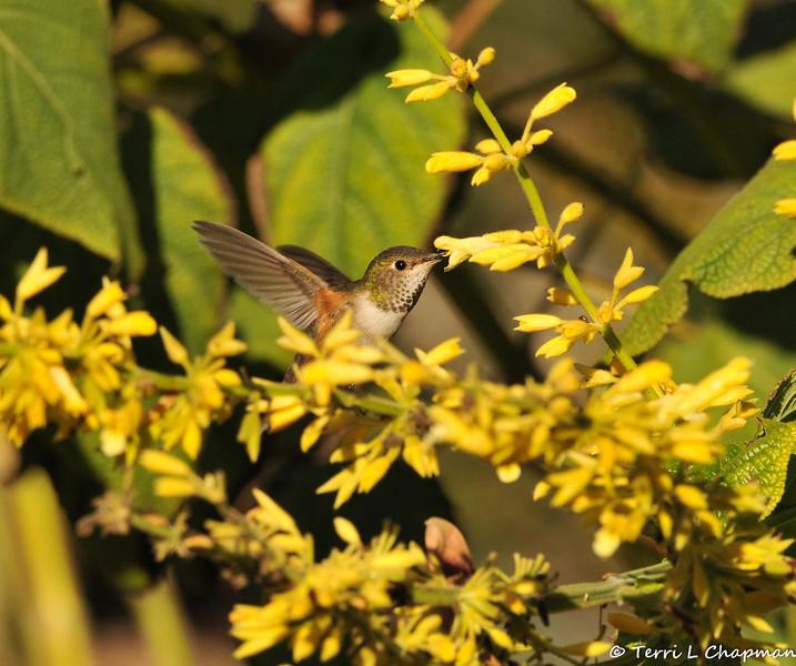 An Allen's Hummingbird sipping nectar from a flower