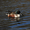 A male Northern Shoveler