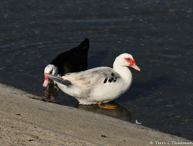 Two Muscovy ducks on the bank of the LA River. The Muscovy duck (Cairina moschata) is a large duck native to Mexico, Central, and South America. Small wild and feral breeding populations have established themselves in the United States.