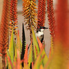 A Red-whiskered Bulbul on an Aloe plant