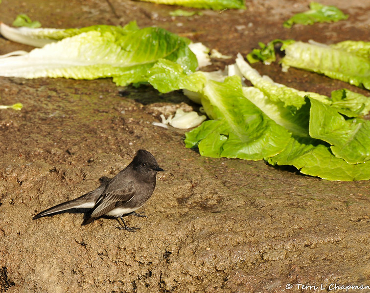 A Black Phoebe near the lunch of the American Black bear at the LA Zoo