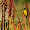 A male Lesser Goldfinch perched on an Aloe plant with orange pollen on its feathers.
