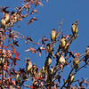 Cedar Waxwings perched in a Sweet Gum tree