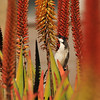 A Red-whiskered Bulbul sipping nectar from an Aloe plant