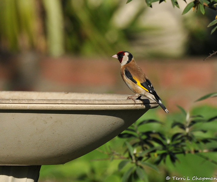 "This is a beautiful European Goldfinch that was photographed in my garden on February 25, 2015.  The European Goldfinch is found throughout Britain and migrates in September and October to spend the winter in mainland Europe. I reported this rare bird sighting to the Ornithology Collection Manager of the Natural History Museum of Los Angeles and this was his reply to me: ""This is one of many non-native species we're trying to keep track of, so it's great to have the photos and data. European Goldfinches have bred sporadically, but they don't seem (yet) to have established any persisting populations. However, all naturalized populations start out small, so it's always good to have the information."""