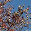 Cedar Waxwings perched in a Sweet Gum tree