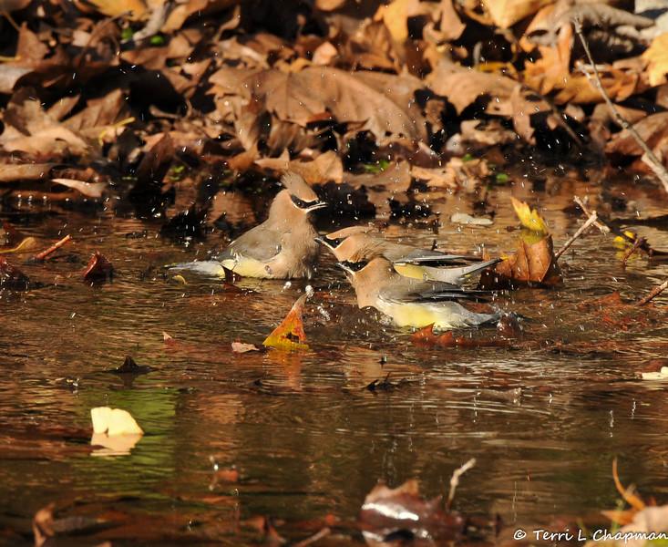 Cedar Waxwings bathing in a stream