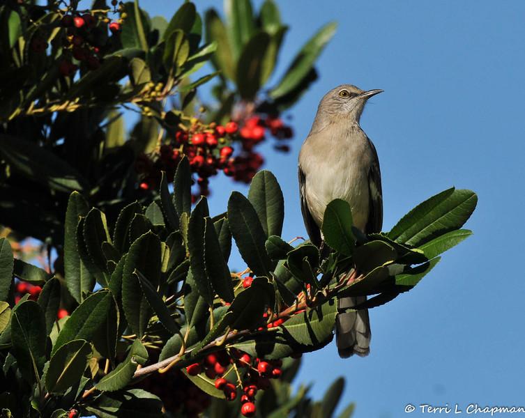 A Northern Mockingbird