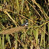 A female Belted Kingfisher searching for a meal in the LA River