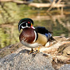 A male Wood duck