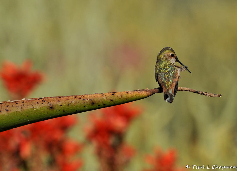A male Allen's Hummingbird, grooming his bill, while balancing on the tip of a blooming Aloe plant
