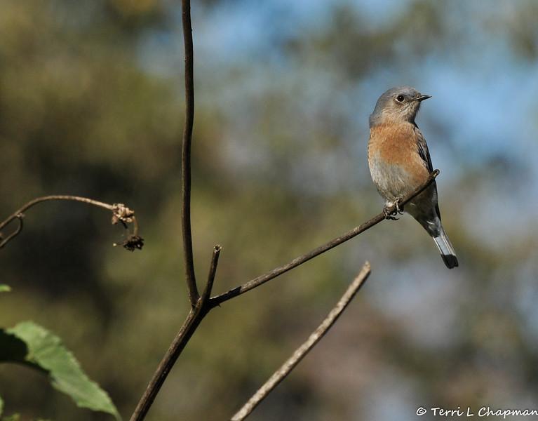 A female Western Bluebird