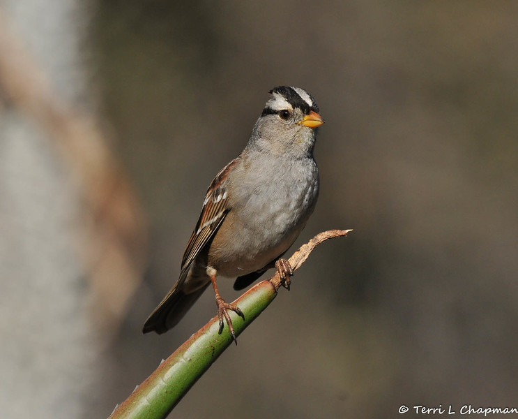 A White-crowned Sparrow perched on the tip of an Aloe plant