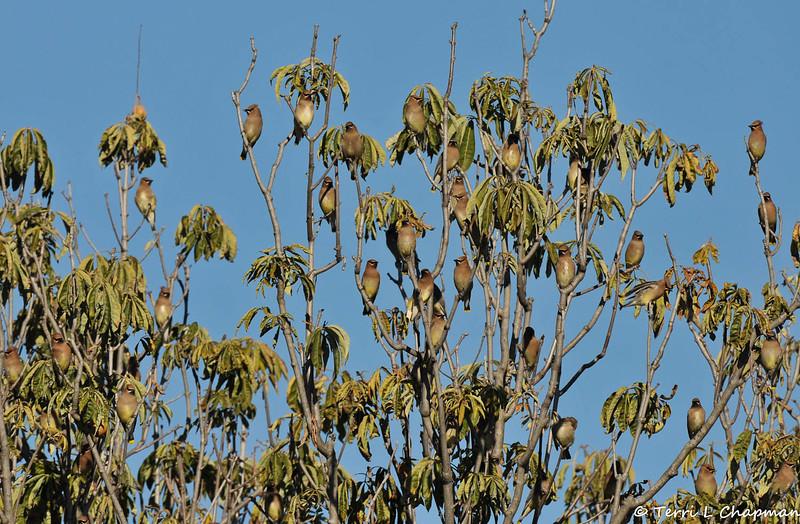 A flock of Cedar Waxwings