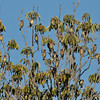 A flock of Cedar Waxwings