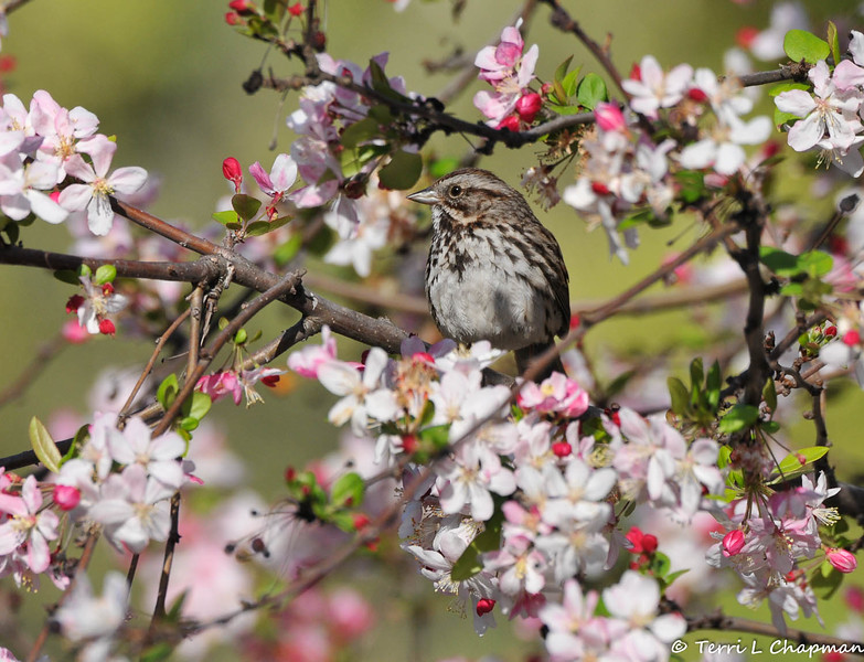 A Song Sparrow perched in a Cherry blossom tree blooming at Descanso Gardens.
