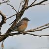 A Western Bluebird