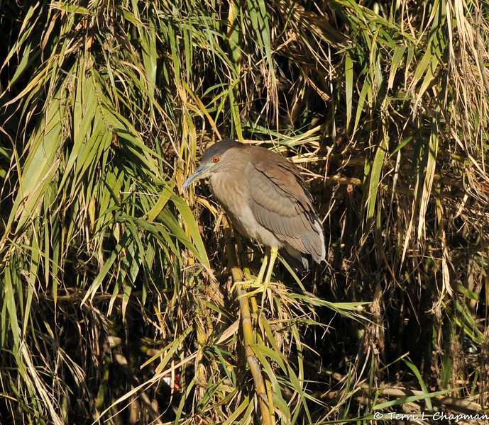 A juvenile Black-crowned Night Heron in the LA River