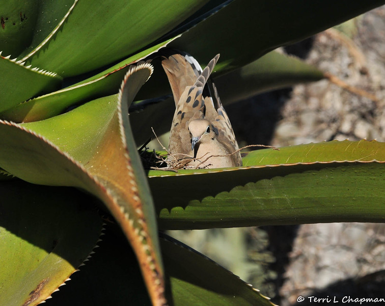 A female Mourning Dove building a nest in an Aloe plant