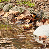 An adult male Varied Thrush drinking from a stream