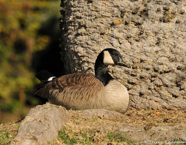 A Canada Goose resting underneath a silk floss tree