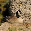 A Canada Goose resting underneath a silk floss tree