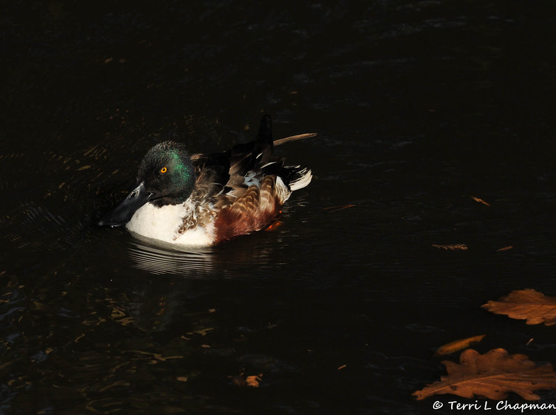 A male Northern Shoveler wintering over in the Los Angeles area.