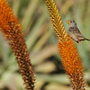 A White-crowned Sparrow, with nectar on its face, from the blooming Aloe plant