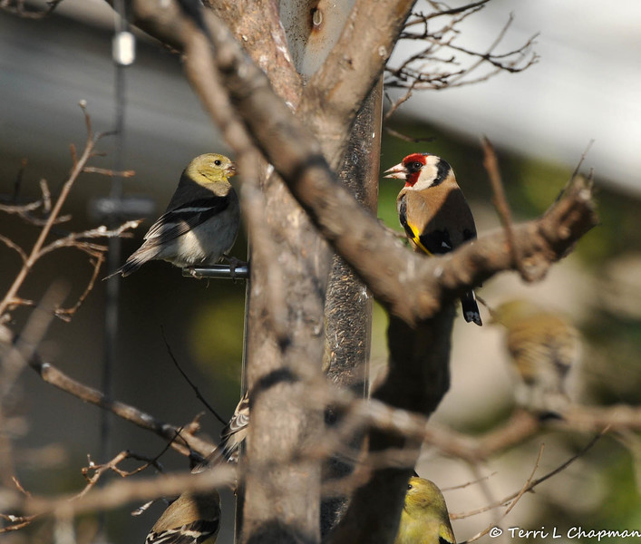 """This is a beautiful European Goldfinch, at my thistle feeder, that was photographed in my garden on February 25, 2015.  The European Goldfinch is found throughout Britain and migrates in September and October to spend the winter in mainland Europe. I reported this rare bird sighting to the Ornithology Collection Manager of the Natural History Museum of Los Angeles and this was his reply to me: """"This is one of many non-native species we're trying to keep track of, so it's great to have the photos and data. European Goldfinches have bred sporadically, but they don't seem (yet) to have established any persisting populations. However, all naturalized populations start out small, so it's always good to have the information."""""""