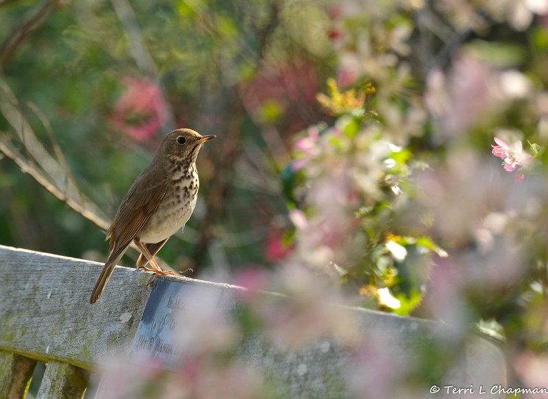 A Hermit Thrush perched on a memorial bench in the rose garden at Descanso Gardens.