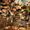A flock of Cedar Waxwings drinking from a stream