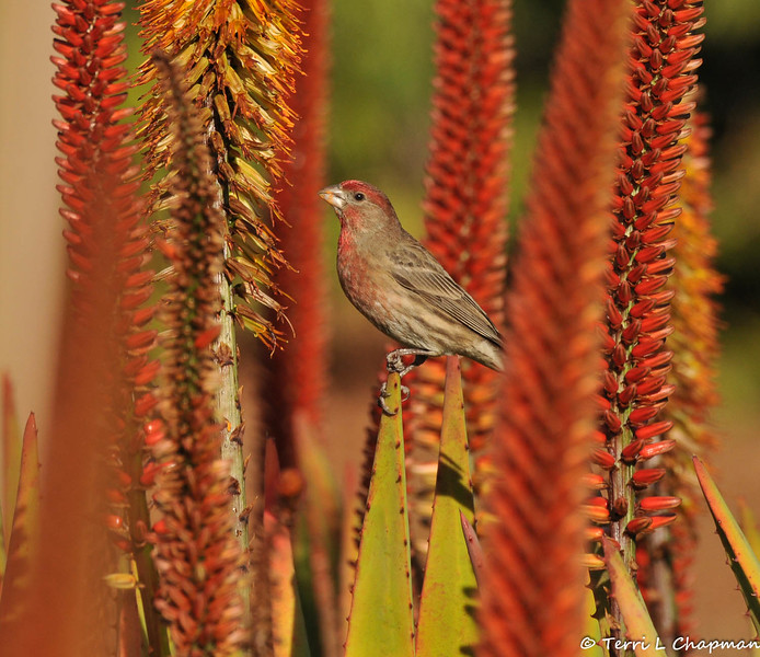 A male House Finch perched on an Aloe plant
