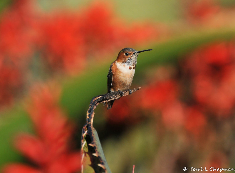A male Allen's Hummingbird against a background of blooming Aloe plants