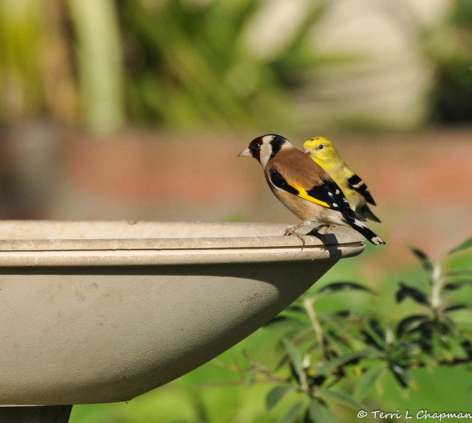 """This is a beautiful European Goldfinch (along side an American Goldfinch) that was photographed in my garden on February 25, 2015.  The European Goldfinch is found throughout Britain and migrates in September and October to spend the winter in mainland Europe. I reported this rare bird sighting to the Ornithology Collection Manager of the Natural History Museum of Los Angeles and this was his reply to me: """"This is one of many non-native species we're trying to keep track of, so it's great to have the photos and data. European Goldfinches have bred sporadically, but they don't seem (yet) to have established any persisting populations. However, all naturalized populations start out small, so it's always good to have the information."""""""