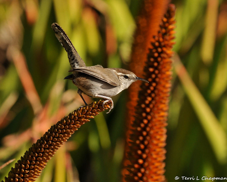 A Bewick's Wren perched on the tip of an Aloe plant