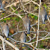 Showing the back feather beauty of the Cedar Waxwings