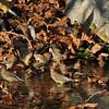 A flock of Cedar Waxwings drinking from a stream