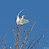 A Great Egret preparing to land at the top of the tree