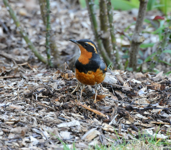 A male Varied Thrush in the rose garden at Descanso Gardens.