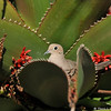 A Mourning Dove sitting on her nest made in a blooming Aloe plant.